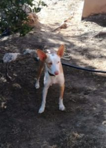 Year old podenco male looking for a forever home