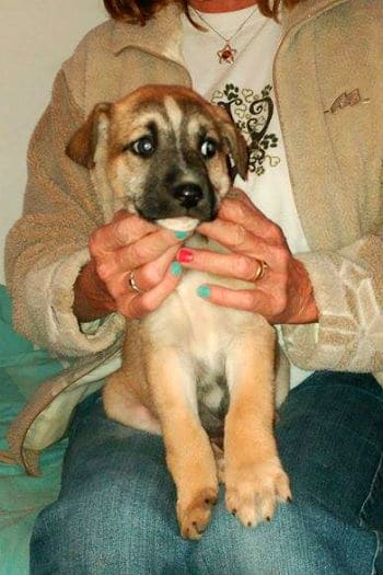 Female Mastín puppy on a lap. Looking for a home.
