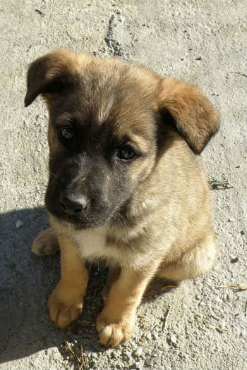 Sweet male mastin puppy looking for a home.