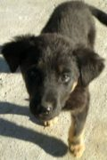 Duggie – male Mastín mix puppy looking for a home