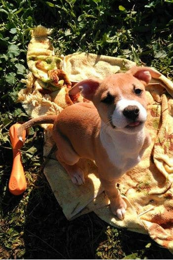 Sweet female puppy on a rug. Ella is looking for a forever home.