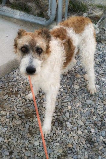 Female scruffy podenco cross, 18 months old, is looking for a forever home.