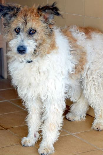 Emma: Female Scruffy Podenco cross saved from the pound seeks loving understanding home