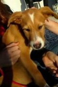 Felix - cachorro cruzado masculino de Podenco