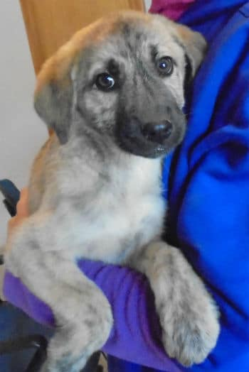 Jessie is a female mastin cross puppy looking for a new home.