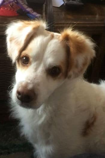 Pipo small male dog white and brown looking for a new home.