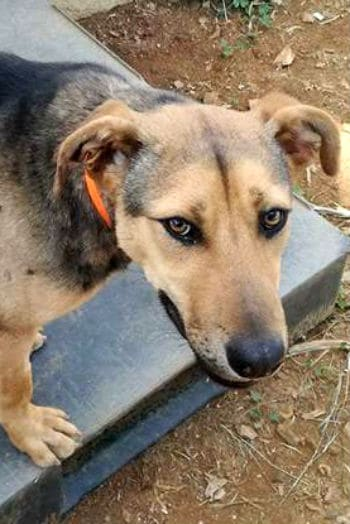 Female dog mix with some GSD. Rescued from the pound and looking for a new home