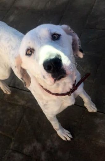 Snowy – Young female Dalmatian Lab mix