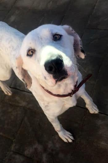 Beautiful female Dalmatian Lab mix with a snowy white face