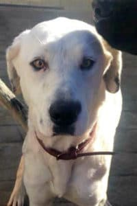Close up of beautiful Snowy, as young female Dalmatian Lab mix looking for a new home