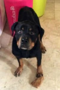 10 year old female Rottweiler rescued from life of abuse needs home.