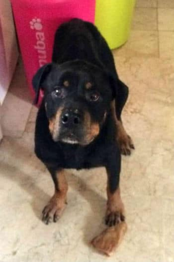 10 year old female rottweiller
