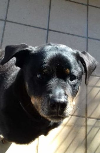 Candela – 10 year old female Rottweiler rescued from life of abuse seeks peaceful, loving home