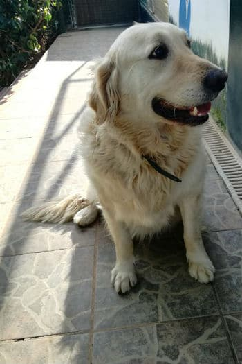Babon is a 7 year old Golden Retriever whose owner has died. He and his mother are looking for a new home.