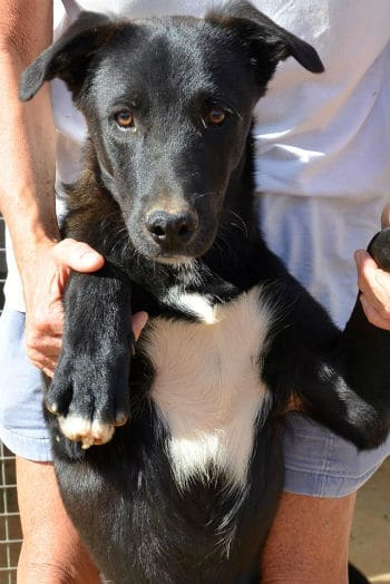 Bronson 1 year old black and white mastín male looking for a forever home