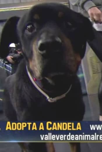 Valle Verde Rottweiler Candela meets Dani Rovira and makes her TV debut on ANTENA 3' show 'El Hormiguero'