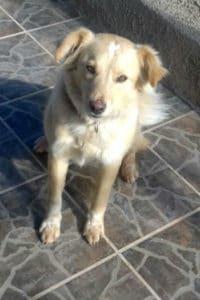 Finn 2 year old small retriever cross seeks loving forever home