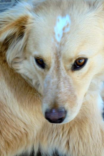 Sweet Finn. 2-3 year old male retriever cross looking for a forever home