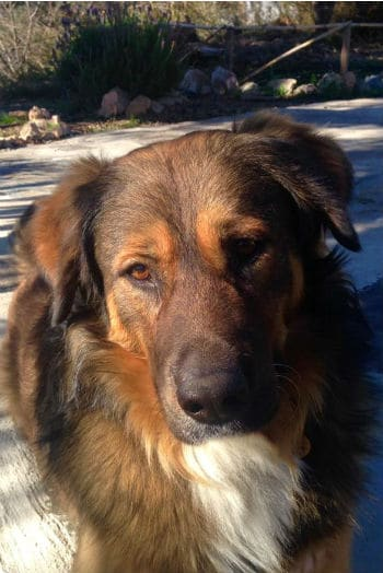 Big beautiful Jack, abandoned dog looking for a new home.