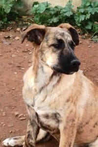 Jessie is a young female Mastín cross seeking a forever home