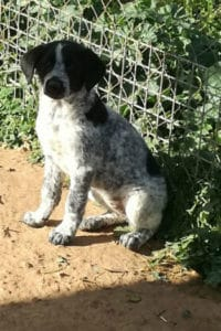 Jodie is a lovely black and white female mastín puppy looking for a new home.