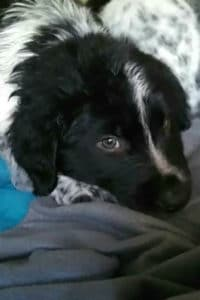Beautiful black and white male mastín puppy called Jude is looking for a new home