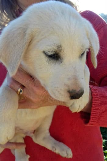 Lance is a blonde male Mastín puppy looking for a new home