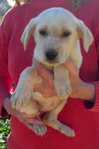 Blonde female Mastín puppy called Libby seeks a loving home