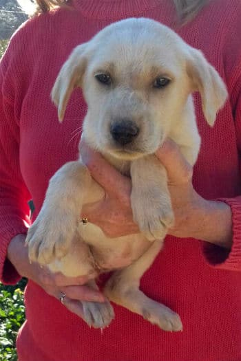 Blonde female Mastín puppy called Libby seeks a loving home