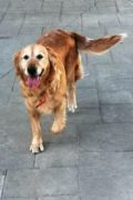 Noah – 8 year old female Golden Retriever and her son seek a forever home