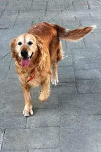 Noah is an 8 year old female golden retriever looking for a new home with her son Babon