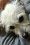 Rosie - dulce pequeño Terrier busca amoroso hogar