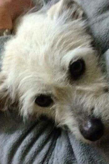 Rosie, sweet little terrier seeks loving home