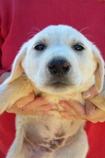 Cachorro Mastín macho llamado Seb está buscando un nuevo hogar