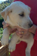 Stevie – Sweet male Mastín pup looking for a home