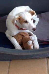 Alfie male Podenco cross puppy needs a home