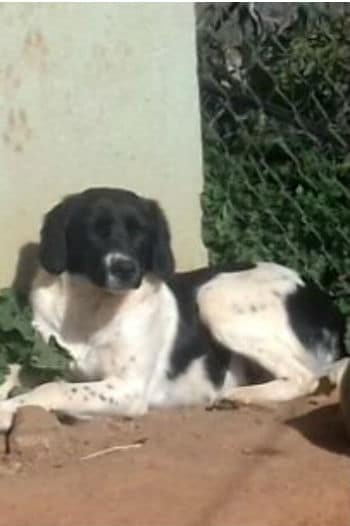 Bobby is a young male spaniel cross looking for a loving home