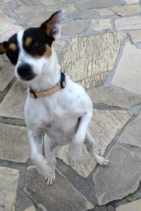 Chica is a 1 year old female Bodeguero looking for a new home.