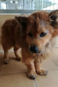 Plucky Cooper is a 9 year old Chow Chow looking for a forever home