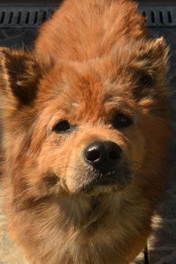 Friendly Chow Chow seeks forever home