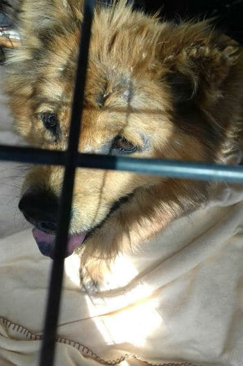 Copper the Chow Chow needs a loving home