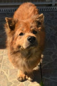 Friendly Chow Chow has had a hard life and is looking for a new home