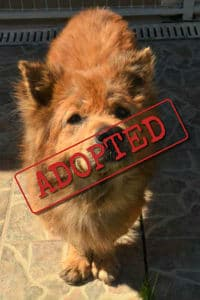 Chow Chow called Cooper finally found his forever home