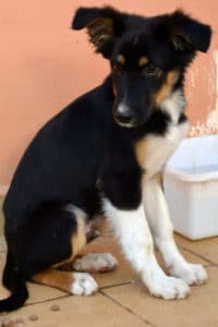 Joachim is a male collie cross puppy looking for a forever home