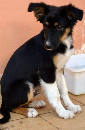 Joachim – male Collie cross puppy
