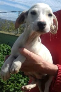 Penny, female small terrier puppy seeks forever home