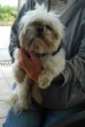 RESERVED: Ruby – Female Shitzu seeks new home after the death of her owner