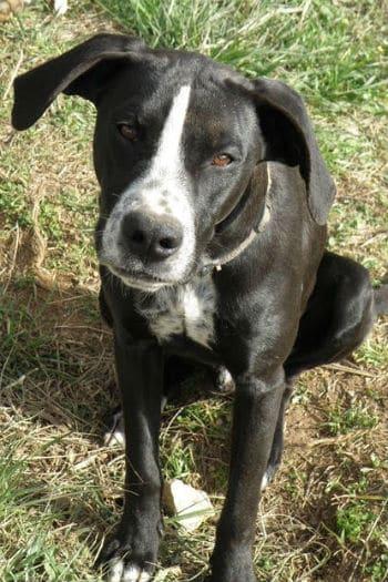 Daniel, un perro macho brillante, blanco y negro, 1 años buscando un hogar.