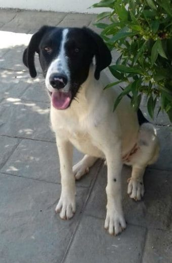 Josh – Mastín cross male puppy looking for a home