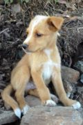 CANCA - Cachorro de mezcla fluffy Podenco busca para siempre en casa
